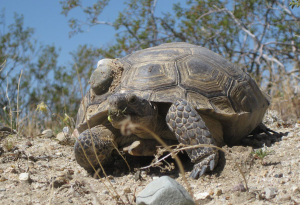 Female desert tortoise outfitted with a radio transmitter.